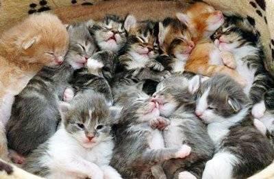 Как часто по времени можно рожать кошке: сколько будет котят в первый раз