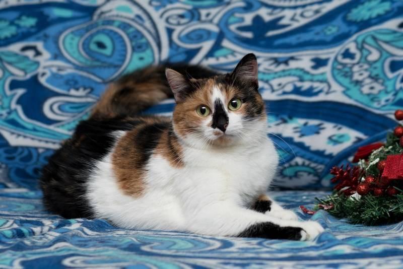 К чему в дом приходит трёхцветная кошка