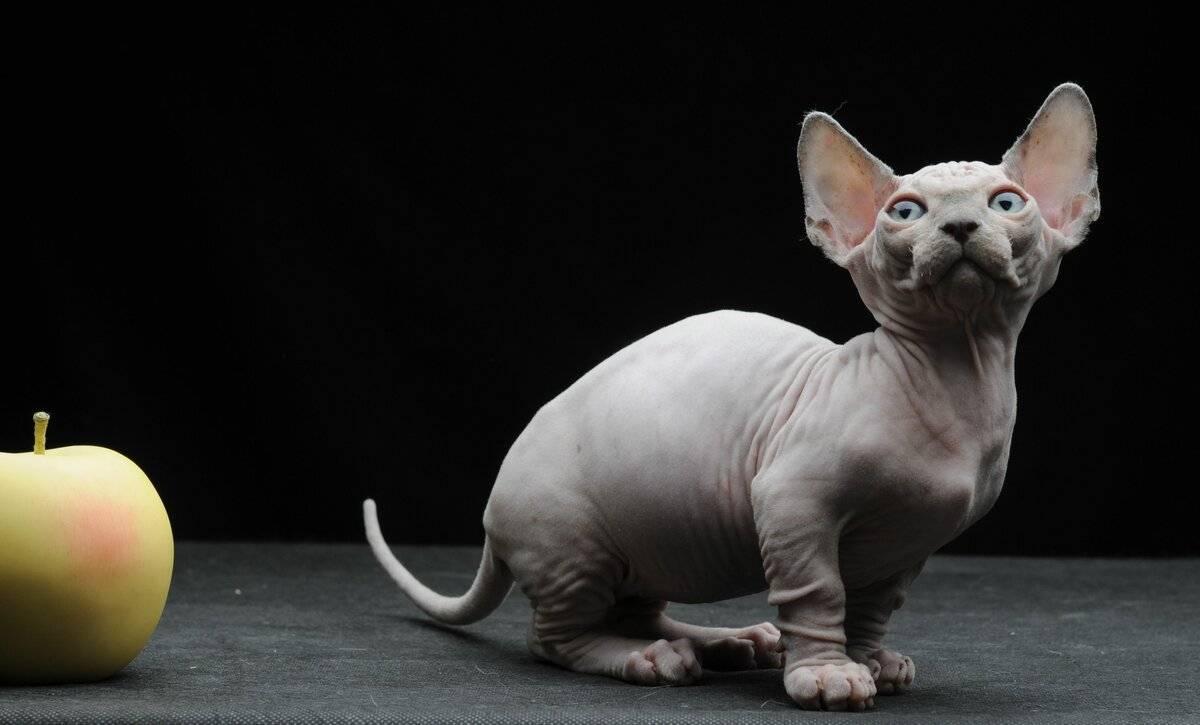 Название самой маленькой дикой кошки в мире