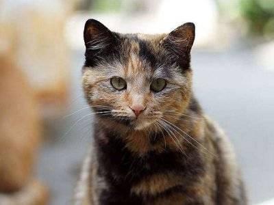 Подкожные шишки у кошек. хвост шотландской кошки — барометр здоровья