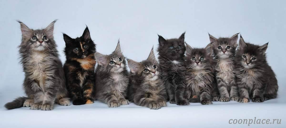 Инбридинг и разведение линий у кошек - почему это делается? - советы для домашних животных - 2020