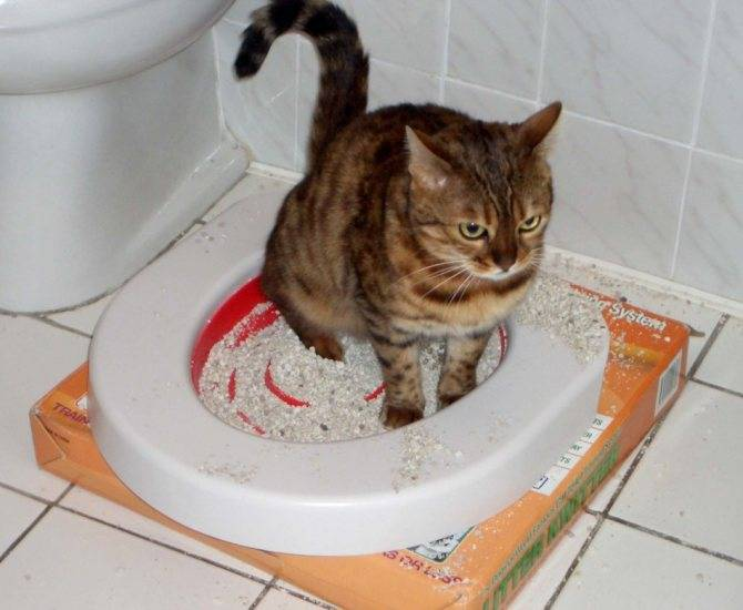 Что делать, если кот не может сходить в туалет?