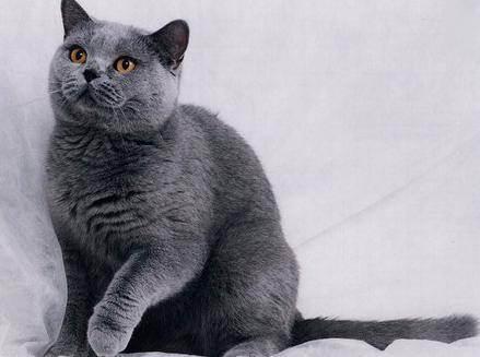 Очень сильно линяет британский кот что делать. кто больше линяет? основные причины, почему сильно линяет британский кот