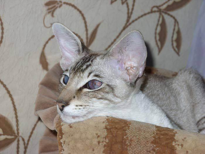 Яванская порода кошек