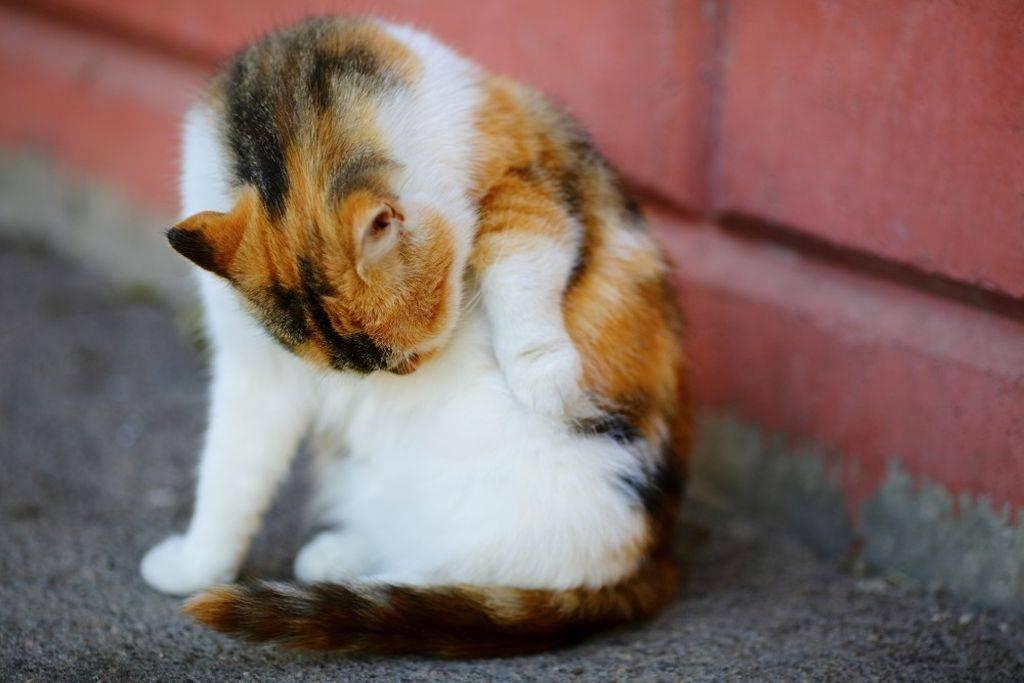Кошка вылизывает шерсть до кожи – чем лечить, почему кот постоянно лижет живот, что делать?