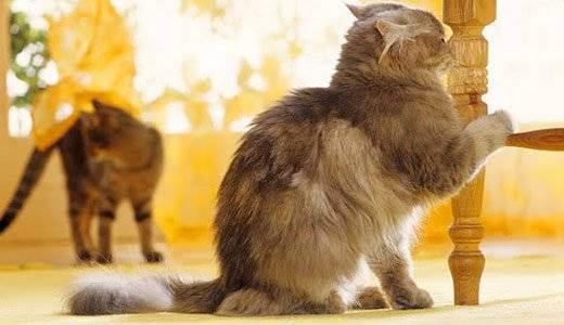 Как действенно отучить кота метить территорию в квартире?