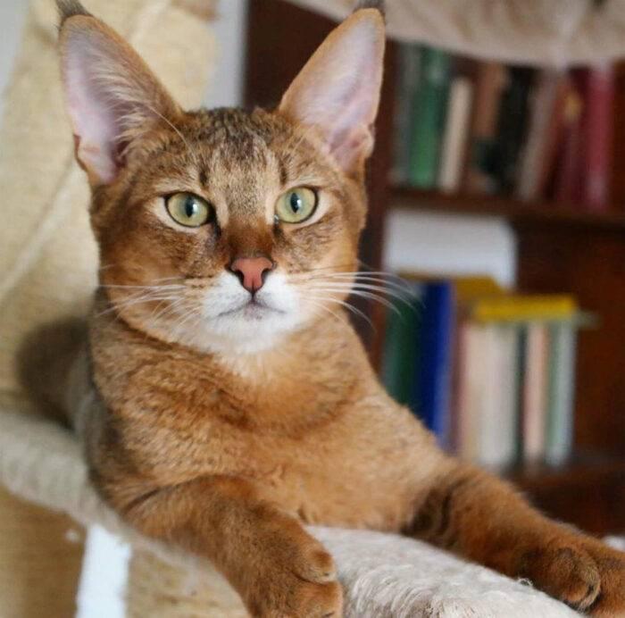 Умные, активные и игривые: знакомимся с кошками чаузи
