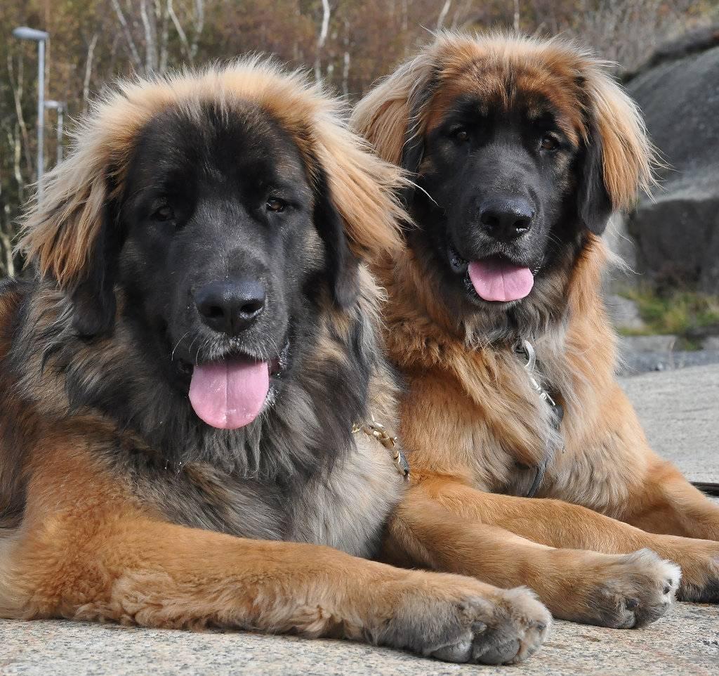 Леонбергер — порода собак