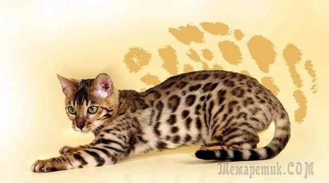 Самые большие породы кошек