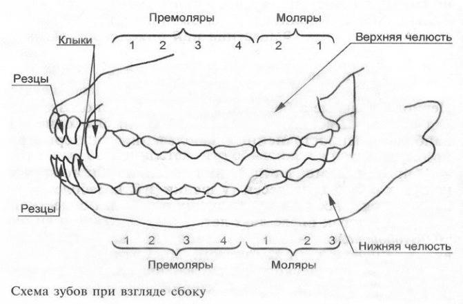 У котенка меняются зубки: самая ценная информация для заботливого хозяина