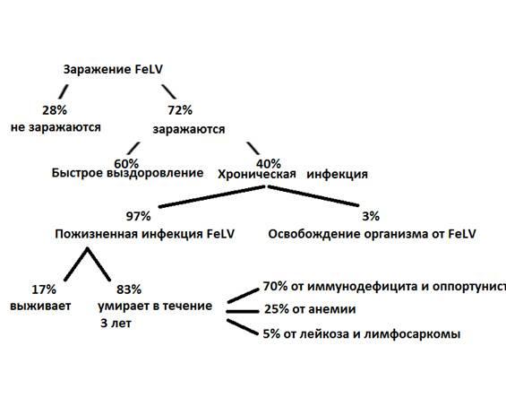 Лейкоз (вирусная лейкемия) у кошек: инкубационный период, симптомы и лечение