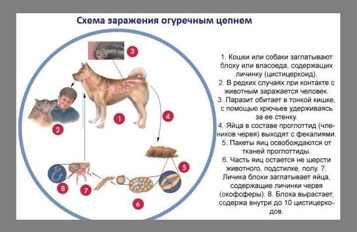 Дирофиляриоз у собак - симптомы и лечение, диагностика и профилактика, прогноз и возможные осложнения