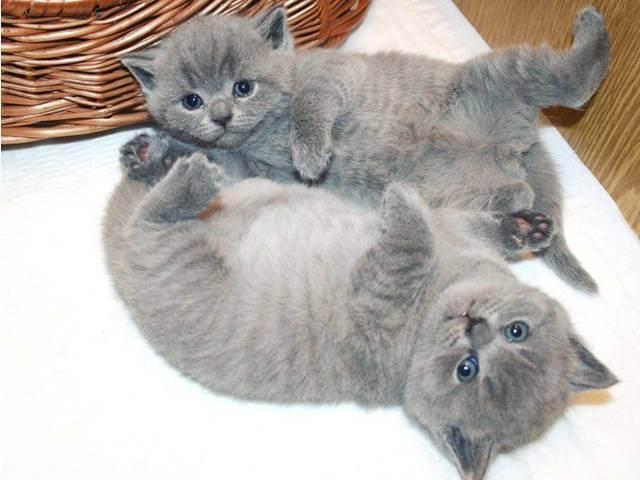 Белые британские кошки (20 фото): описание белого британца с голубыми глазами, стандарты белого окраса породы котов