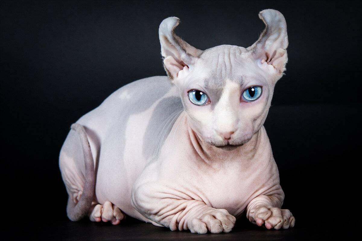 Кошка эльф. описание, особенности, уход и цена кошки эльф   животный мир