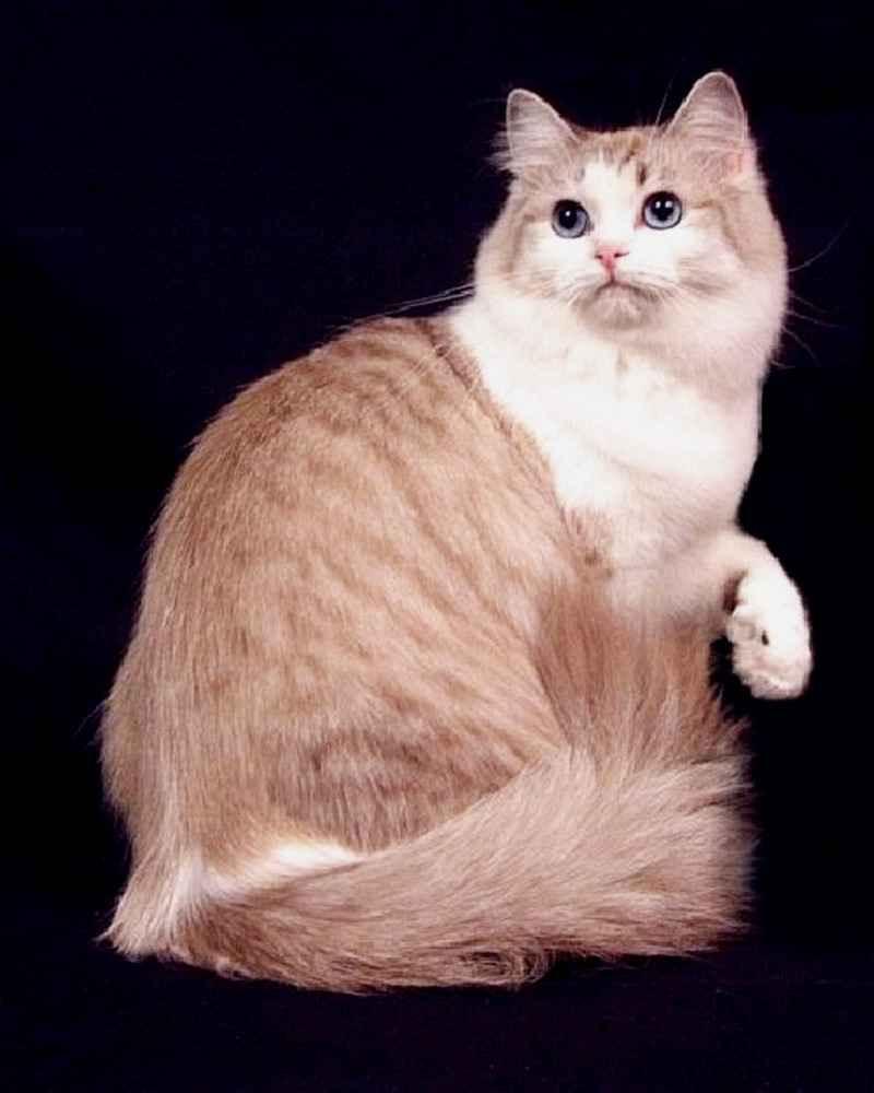 Рагамаффин: описание породы кошек, содержание и разведение