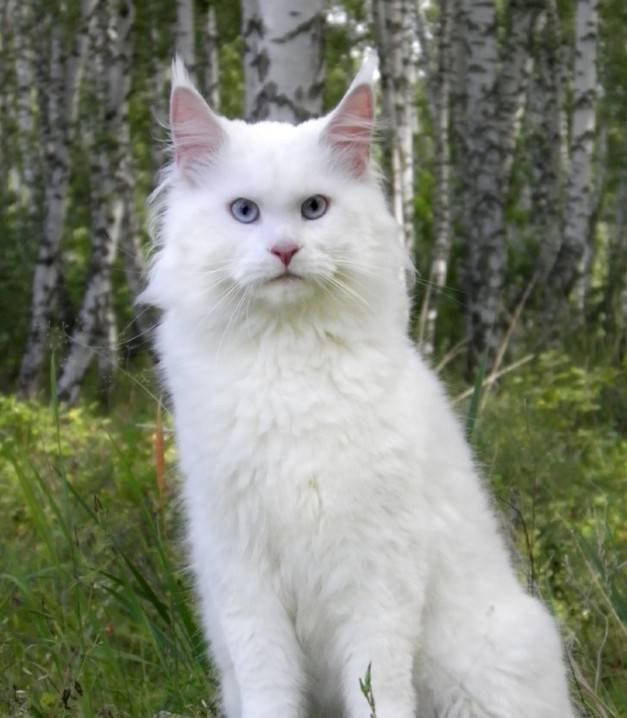 Черный мейн-кун (26 фото): описание котенка, большой взрослого кота черного окраса и черной кошки с зелеными глазами