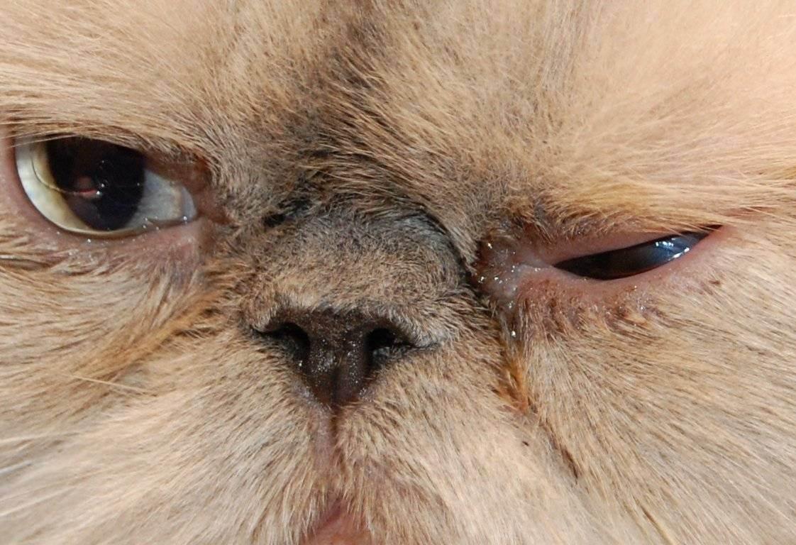 Проблемы дыхательных путей у собаки. брахицефалический синдром