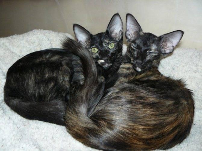 Яванез (яванская кошка) — описание породы кошек
