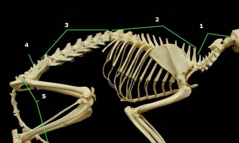 Скелет кошки