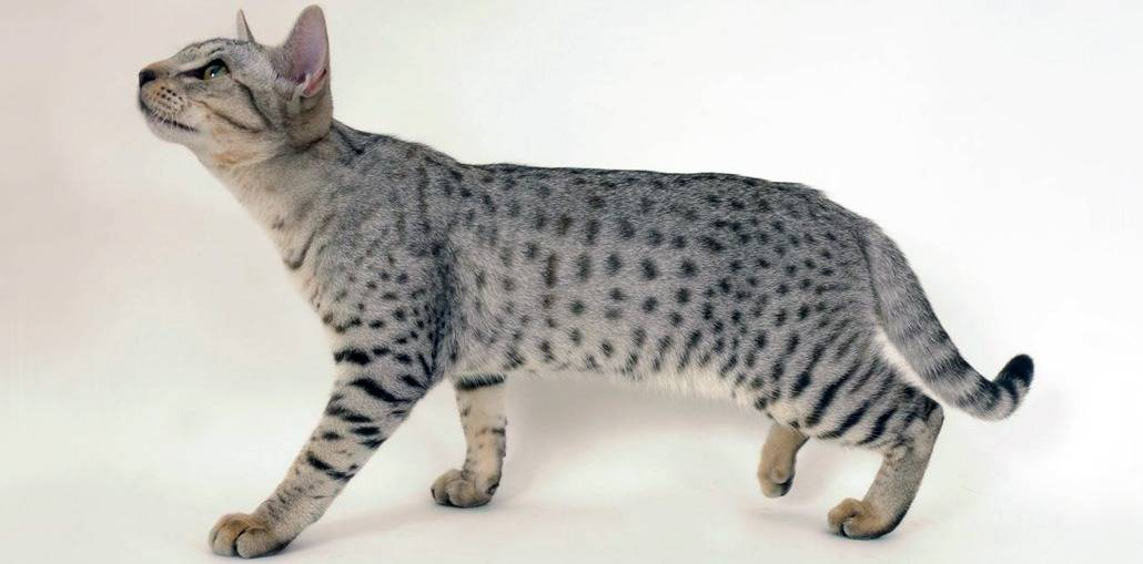 Кошка оцикет: фото кошки, описание породы, уход, цена, рекомендации, плюсы и минусы породы