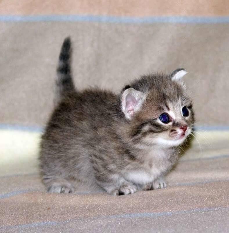 Самые маленькие породы кошек в мире, их названия и описание
