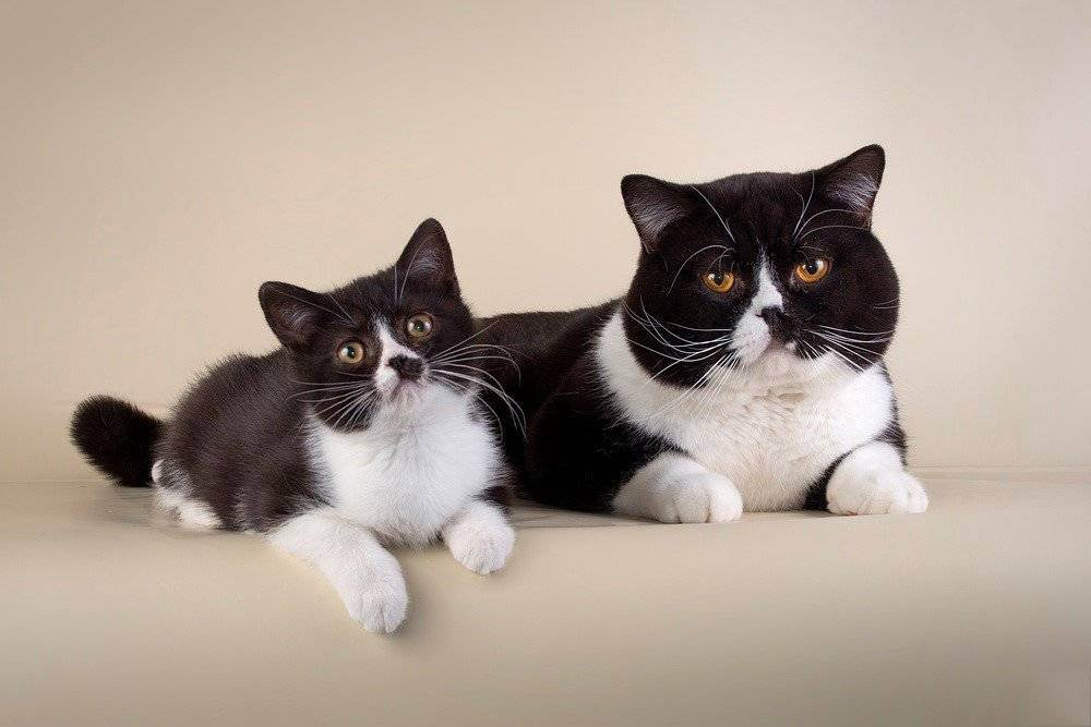 Черно-белые коты и кошки: фото пород с описанием черно-белые коты и кошки: фото пород с описанием
