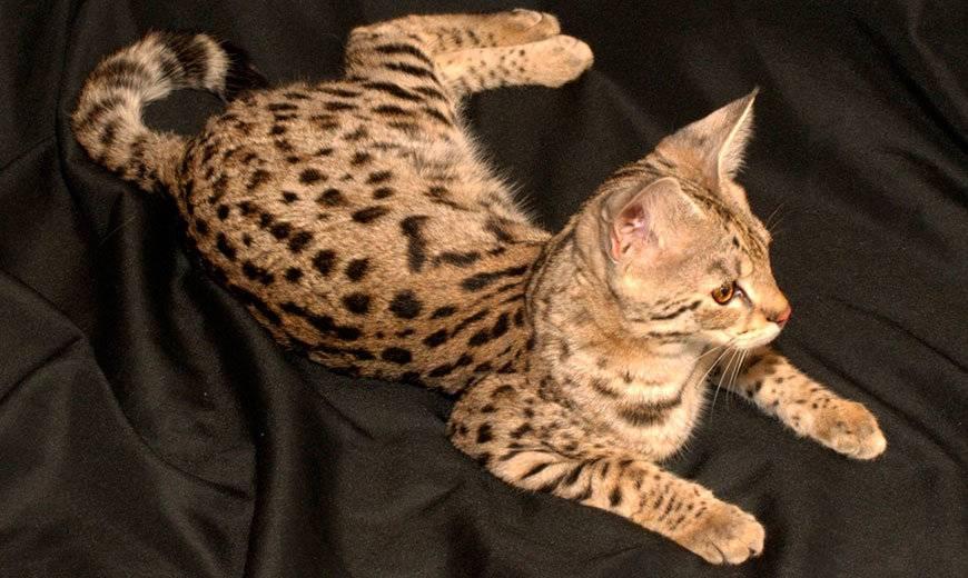 Порода кошек саванна: описание, характер, уход