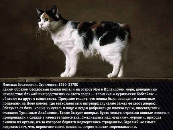 Самые злые породы кошек (фото и видео с описаниями): топ-10 домашних котов которых заводить не стоит