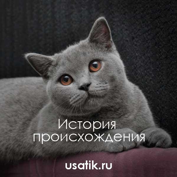 Кастрация британского кота, возраст, подготовка и противопоказания