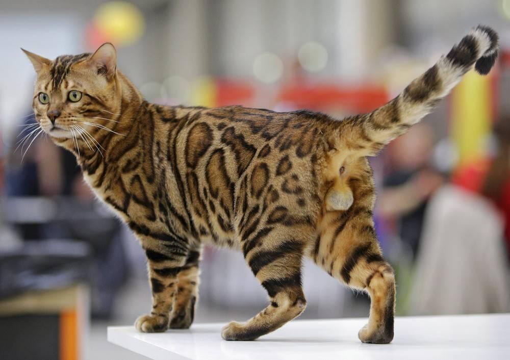 Самые быстрые кошки в мире: топ-10 пород самые быстрые кошки в мире: топ-10 пород