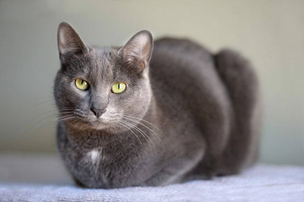 Порода кошек корат: описание с фото, стоимость котенка