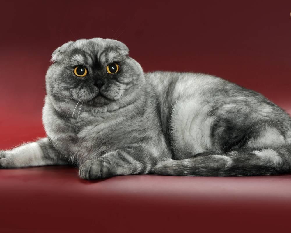 Скоттиш фолд: что это за кошка и как за ней ухаживать правильно? 135 фото и видео советы