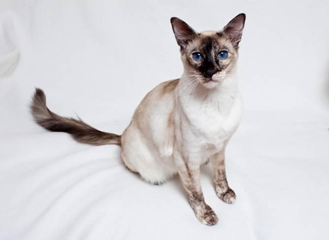 Балинезийская кошка: фото и описание породы, характер, особенности ухода