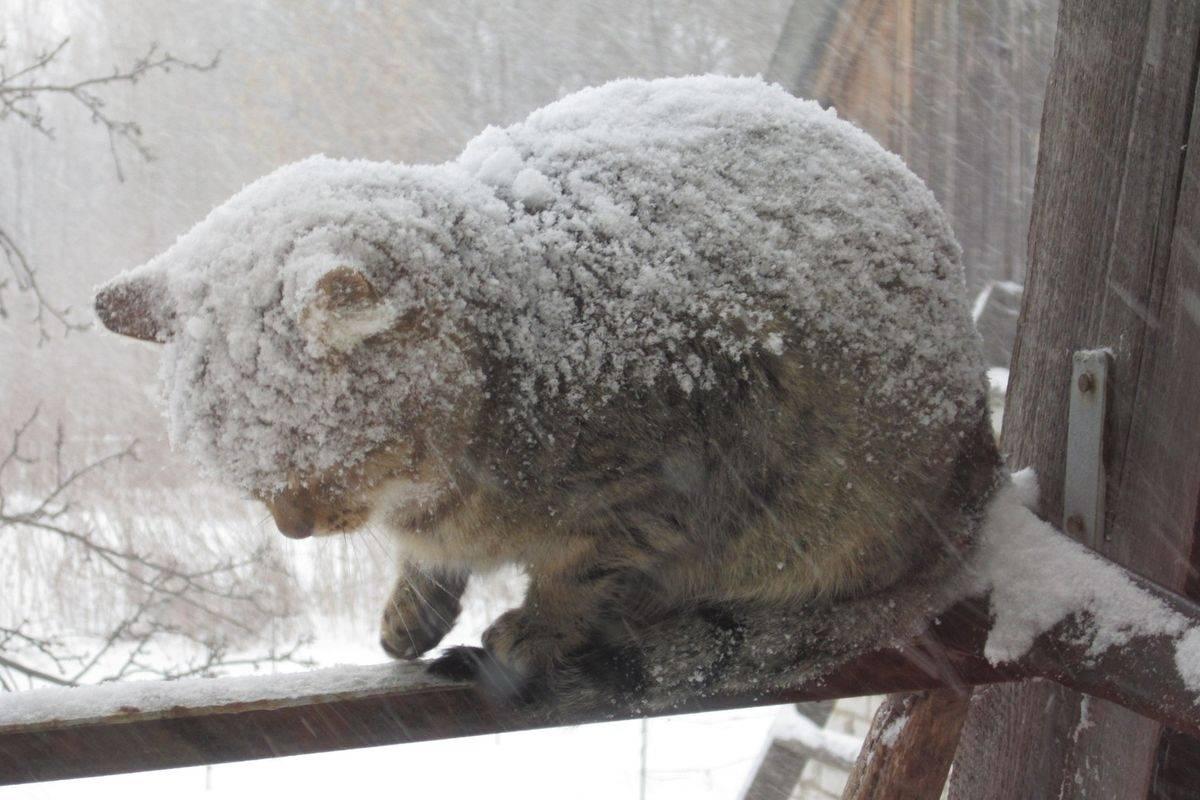 Мерзнут ли кошки зимой на улице – какой мороз выдерживают