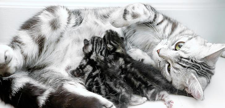 """Rody-u-britanskoi-koshki - запись пользователя ˜""""*°•.ღеmmyღ.•°*""""˜ (emmy00) в сообществе домашние животные в категории кошки. болезни, прививки, советы по уходу - babyblog.ru"""