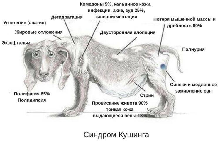 Дирофиляриоз у собак: лечение, симптомы и признаки, фото