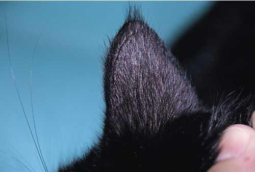 Облысение ушей у кошек - oozoo.ru