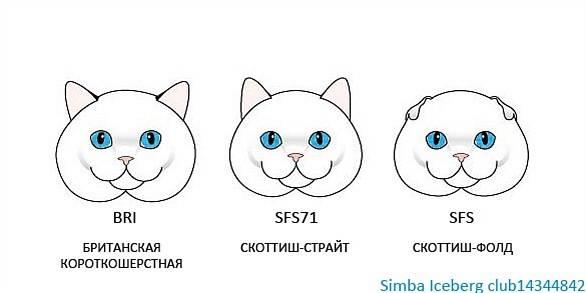 Чем отличается шотландская кошка от британской (фото и видео)