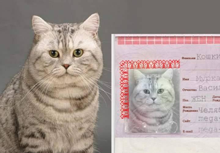 Клички для шотландских вислоухих котов и кошек | имена