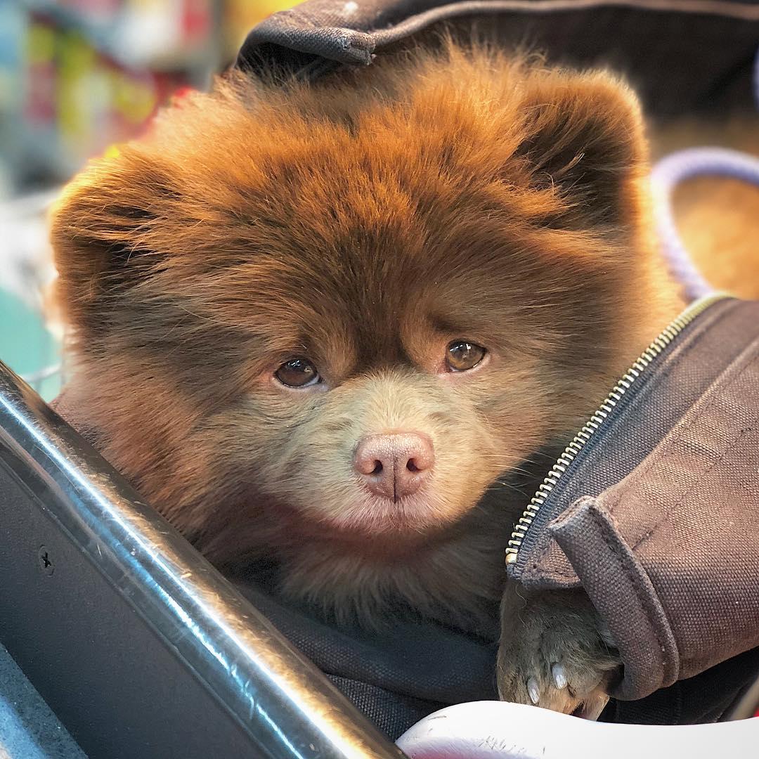 Породы собак очень похожих на медвежат