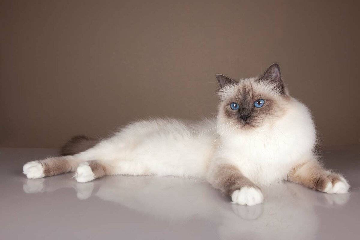 Бирманская кошка (священная бирма): фото, цены, характер и отзывы владельцев