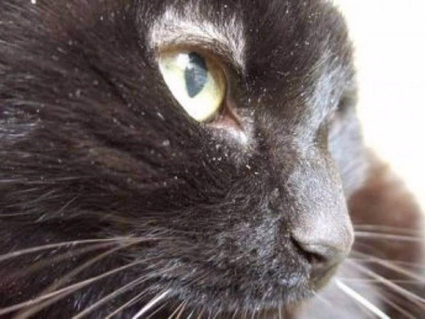 Перхоть у кошки: причины, симптомы и лечение