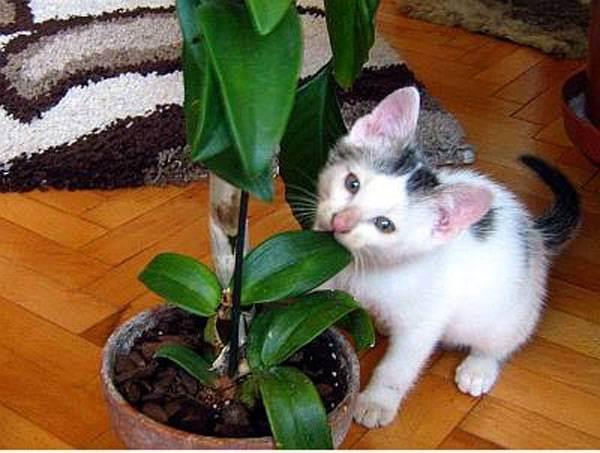 Почему кот ест цветы комнатные?
