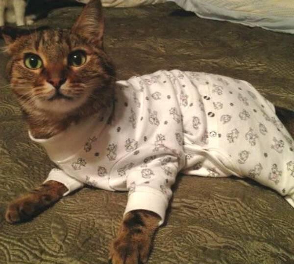 Уход за кошкой и швом после стерилизации в домашних условиях