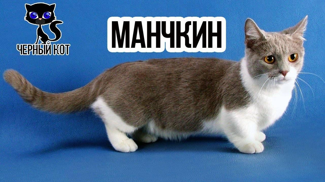 Коротколапые коты манчкин: особенности породы.