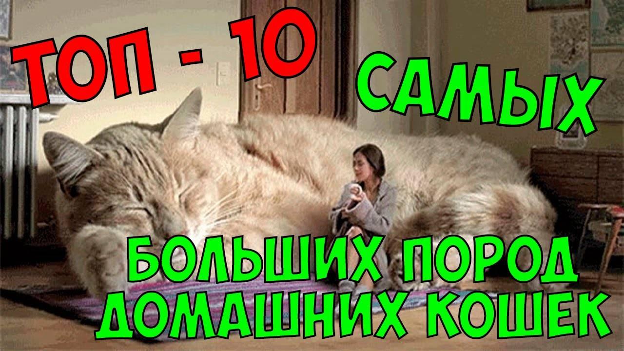 10 самых опасных пород кошек в мире