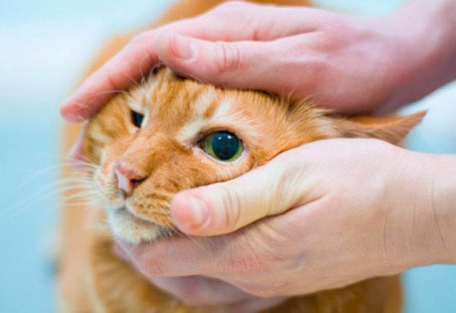 У котенка слезятся глаза. что делать?