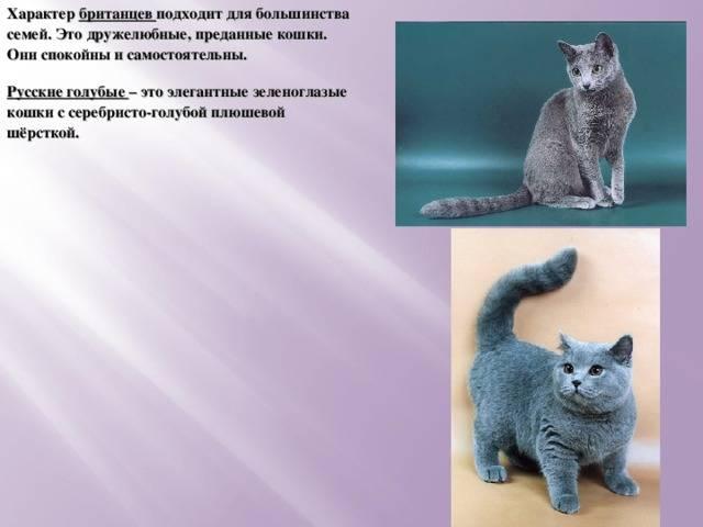 Британская короткошерстная кошка: описание стандартов породы, возможные окрасы, особенности поведения британца