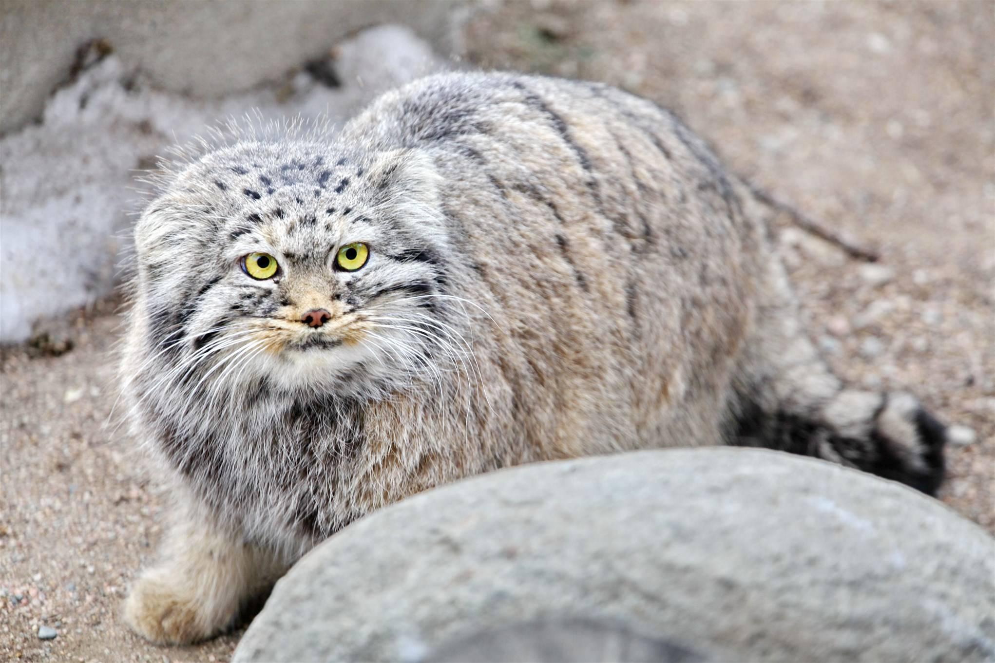 Описание внешности и характеристика породы китайской кошки