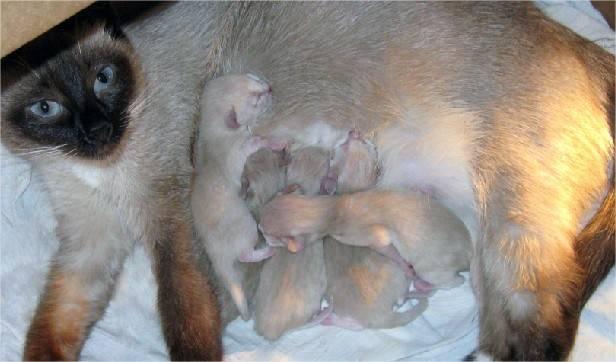 Кошка беременная первый раз. мяукающее потомство: когда кошка может забеременеть. беременность шотландских кошек